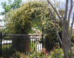 Lady Banks Roses archway_jpg compressed